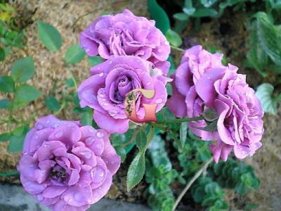 Роза Лавандер Мейландина | Lavender Meillandina