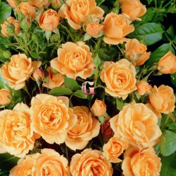 Роза Априкот Клементина | Apricot Clementine