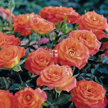 Роза Мандарин Симфони | Mandarine Symphonie