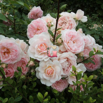 Роза Лавли Симфони | Lovele Simfonie