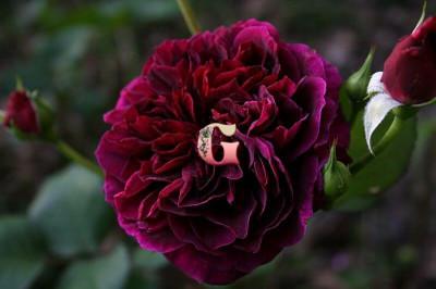 Роза Традескант | Tradescant (Английские)