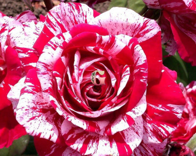 Роза Арроу Фолиез | Arrow Folies (спрей-розы)