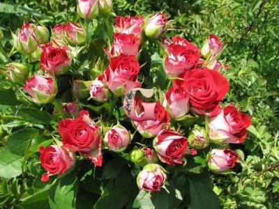 Роза Руби Стар | Ruby Star (спрей-розы)