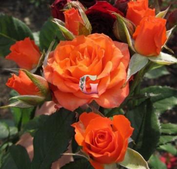 Роза Алегрия |Alegria (спрей-розы)