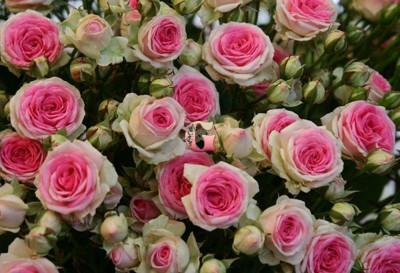 Роза Мими Эден | Mimi Eden (спрей-розы)