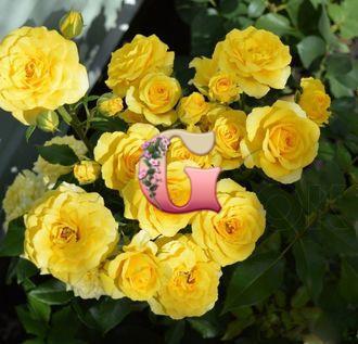 Роза Сан Сити | Sun City (спрей-розы)