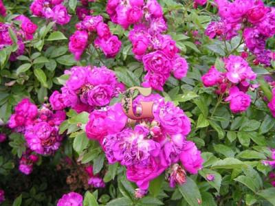 Роза Перенниал Блю | Perennial Blue (плетистые) (Весна 2021 г)
