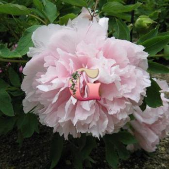Пион Древовидный Букет Розовых Гвоздик ( контейнер 3л)