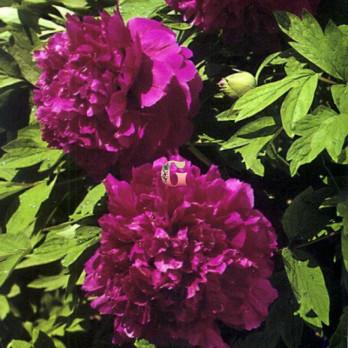 Пион Древовидный Пурпурная Ночь ( контейнер 3л)