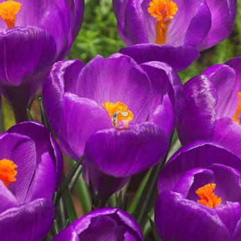 Крокус  Флауэр Рекорд (крупноцветковый)(10 шт)