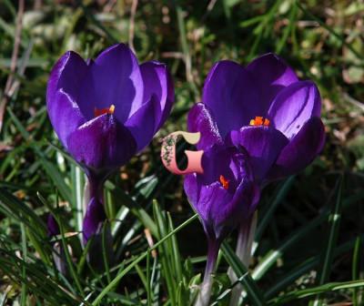 Крокус  Негро Бой (крупноцветковый) (10 шт)