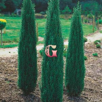 Можжевельник обыкновенный Сентинел | Juniperus communis Sentinel (P9)