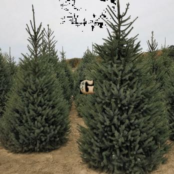 Ель сербская | Picea omorika (P9)
