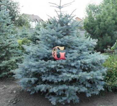Ель колючая Глаука | Picea pungens Glauca (P9)