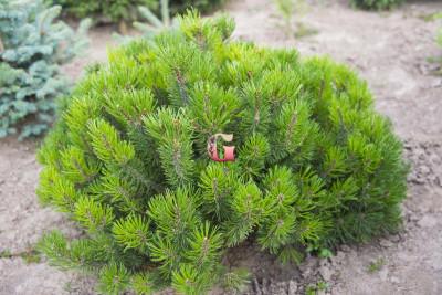 Сосна горная Мугус | Pinus mugo Mughus (P9)