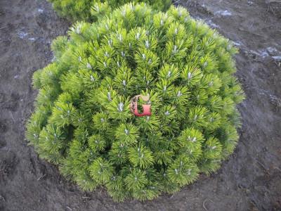 Сосна горная Пумилио | Pinus mugo Pumilio (P9)(весна 2021г.)