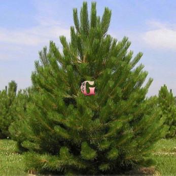 Сосна черная Нигра | Pinus nigra Nigra (Р9)