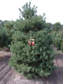 Сосна обыкновенная Норске Тип | Pinus sylvestris Norske Typ (P9)