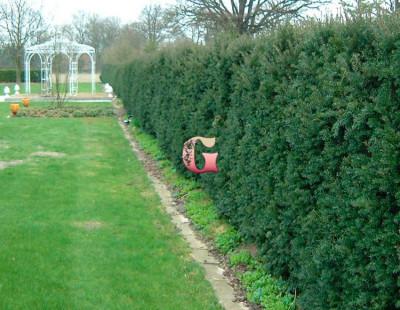 Тис ягодный Шварцгрюн | Taxus baccata Schwarzgrün (P9)