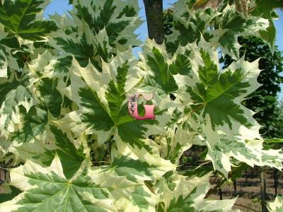 Клен остролистный Друммонди   Acer platanoides Drummondii