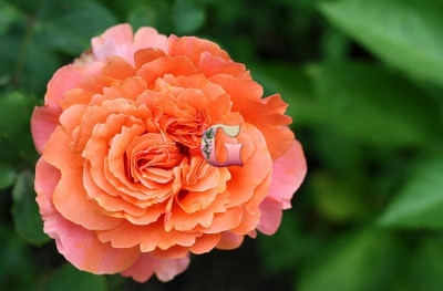 Роза Этруска | Etrusca (Чайно-гибридные) (Весна 2021г.)