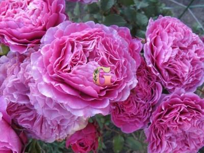 Роза Вентило | Ventilo (Шрабы)
