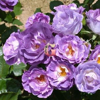 Роза Блю фо Ю | Blue for You (Флорибунда)