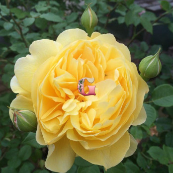 Роза Зе Поэтс Вайф | The Poets Wif (английские)