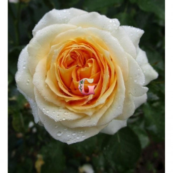 Роза Ля Калиссон | La Calissonne (Шрабы)