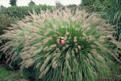 Пеннисетум Гамелн   Hameln (1 шт.)