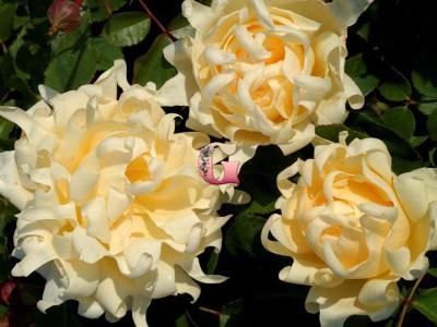 Роза Раффлс Квин | Ruffle's Queen ( Флорибунда)