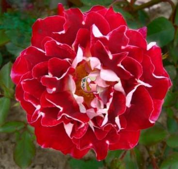 Роза  Спаклин Раффлс | Sparkling Ruffle (Флорибунда)
