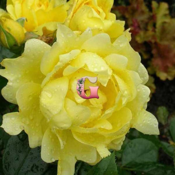 Роза  Сплендид Раффлс | Splendid Ruffles (Флорибунда)