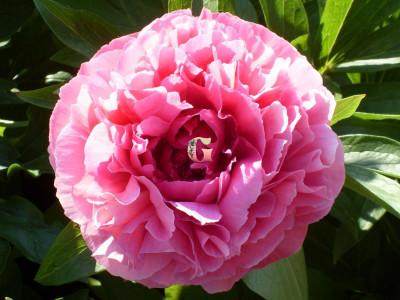 Пион Роз Харт | Rose Heart ( Травянистый) (осень 2021 г.)