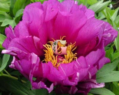 Пион Морнинг Лилак |  Morning Lilac (ИТО- гибрид)(осень 2020 г.)