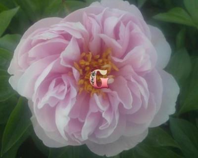 Пион Пинк Вангуард |  Pink Vanguard (травянистый) ( осень 2020 г)
