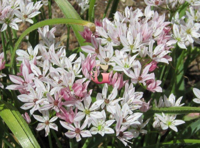 Лук декоративный Хамелеон | Allium Cameleon (15 шт)
