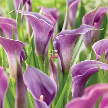 Калла Лавандер Джем |  Lavender Gem (1 шт.)