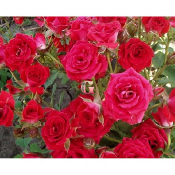 Роза Ред Микадо |  Red Mikado (спрей- розы)