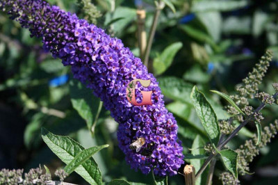 Буддлея Давида Эмпайр Блю | Buddleja davidii Empire Blue (Р9)