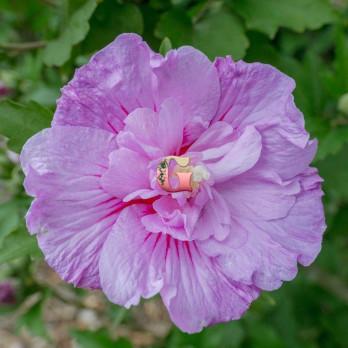 Гибискус сирийский Лавендер Чиффон | Hibiscus syriacus Lavender Chiffon