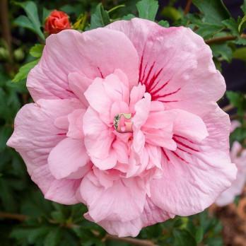 Гибискус сирийский Пинк Чиффон | Hibiscus syriacus Pink Chiffon