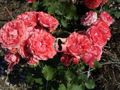 Роза Корал Желе | Corail Gelee (шраб)(японская) (осень 2021 г)