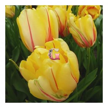 Тюльпан Фрейджюс (Махровый поздний)(8 шт)