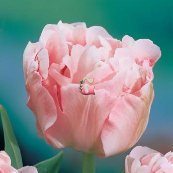 Тюльпан Анжелика (Махровый поздний)(10шт)