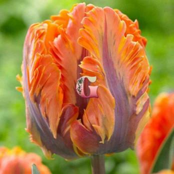 Тюльпан Принцесса Ирен Пэррот (попугайный)(10 шт.)