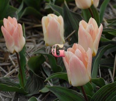 Тюльпан Литтл Герл | Little Girl (Грейга) (10 шт.)