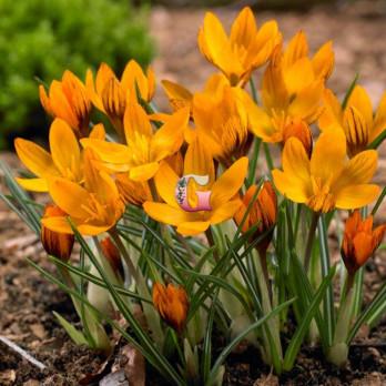 Крокус Оранж Монарх | Crocus Olivieri Orange Monarch (крупноцветковый)(10 шт.)