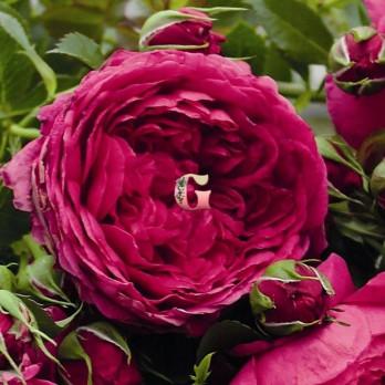 Роза Соул | Soul (Шраб)(осень 20г.)