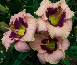 Лилейник Орхид Кэнди | Orchid Candy